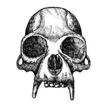 Monkey Skull Hand Drawn, Isola...