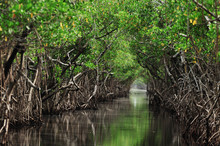 Mangrove Trees Along The Turqu...