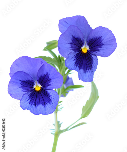 Deurstickers Pansies purple pansy flower