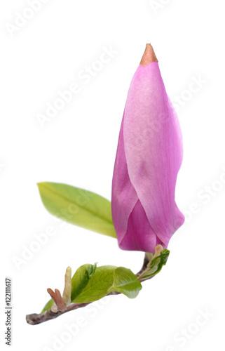 Foto op Plexiglas Magnolia susan magnolia