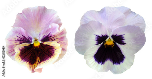 Canvas Prints Pansies pansy flower