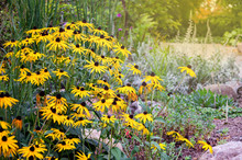 Rudbeckia Flowers Commonly Cal...