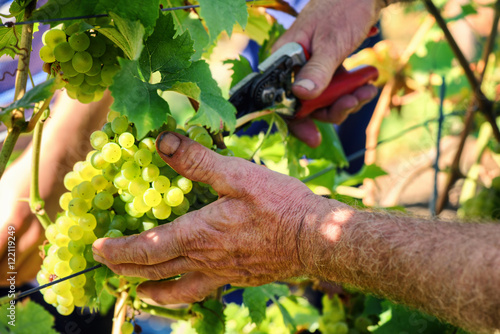 Carta da parati Wine harvesting - old farmers hands cutting grape branch