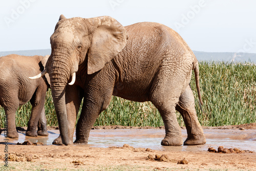 Foto op Aluminium Olifant African Bush Elephant - Standing and striking a pose