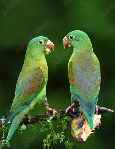 Orange-chinned parakeets with banana on their beaks Fotomurales
