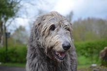 Gorgeous Irish Wolfhound Dog W...