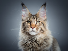 Portrait Of Domestic Black Tabby Maine Coon Kitten - 5 Months Old. Close-up Studio Photo Of Striped Kitty Looking At Camera. Focus On Eyes. Beautiful Young Cat On Grey Background.