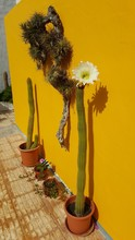 Queen Of The Night Flower On The Canary Island Of Lanzarote
