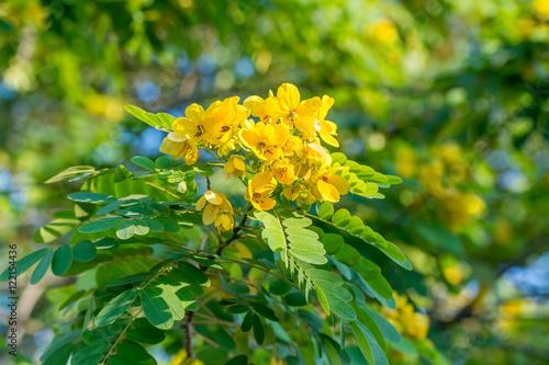 Carta da parati  Close-up of flower of Scrambled Egg Tree - Senna surattensis (Burm