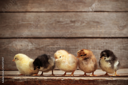 Canvas Print little kid chick standing on wooden background