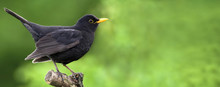 Website Banner Of A Beautiful Blackbird As Sitting On A Branch