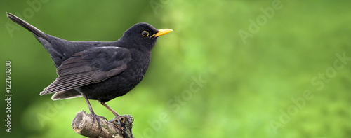 Website banner of a beautiful blackbird as sitting on a branch Canvas Print