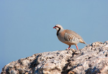 Chukar Partridge Bird Standing On Rcok With Blue Background