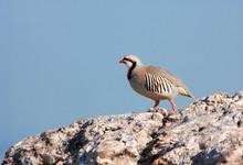 Chukar Partridge Bird Standing...