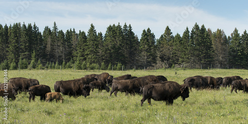 Deurstickers Bison Herd of bison walking in a field, Lake Audy Campground, Riding M