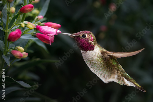 Photo  Male Anna's hummingbird visit flowers