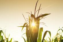 Corn Harvest In Indiana