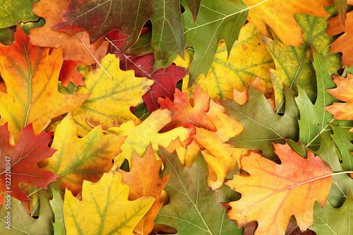 Photo  Beautiful sunny artistic colorful oak autumn season leaves background