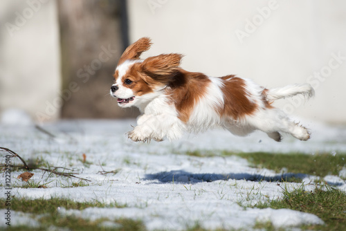cavalier king charles spaniel dog jumps outdoors in winter Fototapeta