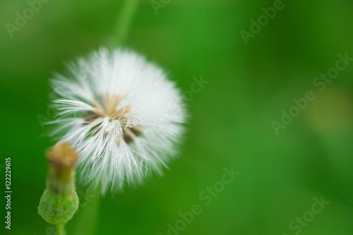 Beautiful White Grass Puffball Flower With Green Background Buy