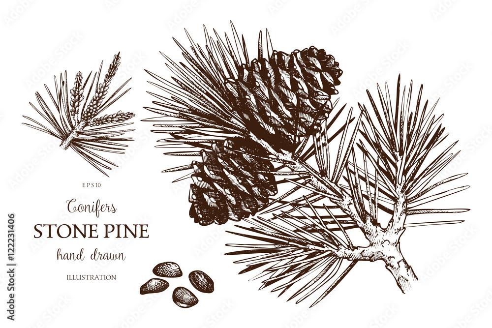 Fototapety, obrazy: Vintage Stone pine illustration. Hand drawn Cedar sketch on white background. Vector conifer tree.