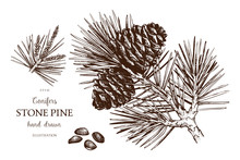 Vintage Stone Pine Illustration. Hand Drawn Cedar Sketch On White Background. Vector Conifer Tree.