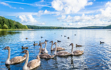 Wild Waterfowl, Young Swans And Ducks, Birds Swimming On The Lake