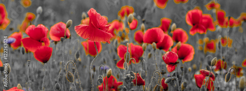 In de dag Poppy panorama of poppies and wild flowers, selective color, red and black