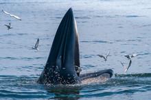 Bryde's Whale Feeding, Petchburi , Thailand