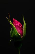 Single Rose On Black