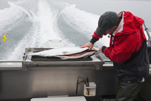 Fish Guide Cleaning Salmon On Back Of Boat During Trip Back To Homer; Alaska, United States Of America