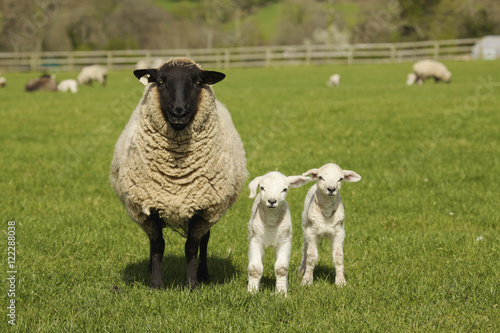 A Lamb With Two Sheep, Dublin Ireland Poster
