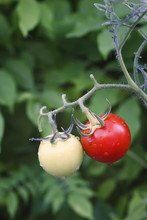 Two Different Tomatoes Growing On A Plant, Spain