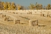 Hay Bales In A Row In A Field,...
