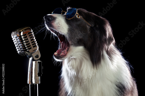 Photo  Beatiful border collie dog singing into a microphone