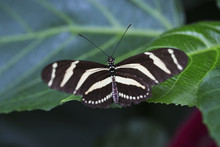 Close Up Of A Zebra Longwing Butterfly (Heliconius Charithonia) On A Leaf, Niagara Falls, Ontario, Canada