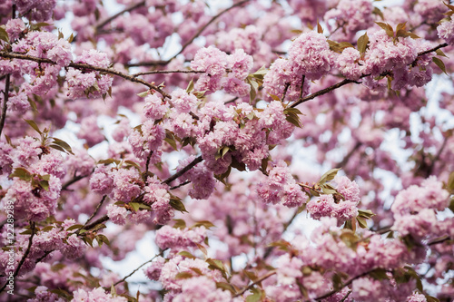 Close up of pink blossoms on tree branches in Baltimore County, Baltimore, Maryland, United States of America
