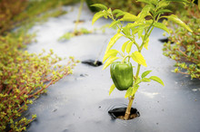Green Pepper Plant Growing Through A Hole In Black Plastic Mulch, Denton, Maryland, United States Of America