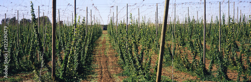 Rows of staked mature hops await the fall harvest for use in beer making and floral decorations, Pacific Northwest, Salem, Oregon, United States of America