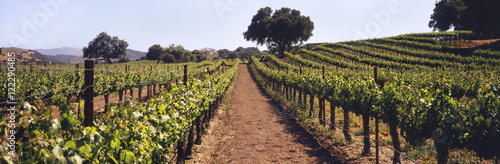 Foto op Aluminium Wijngaard A vineyard on a rolling hillside in early summer with live oak trees and mountains beyond, Santa Ynez Valley, Buellton, California, United States of America