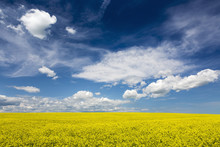 Flowering Canola Field With Clouds And Blue Sky, Alberta, Canada