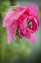 Two Bumble Bees On A Pink Rose,Devon Alberta Canada