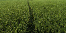 A Path Through A Field With A Green Crop