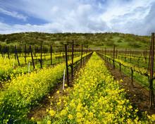 Vineyard With Mustard In Full Bloom, Suisun Valley, Solano County, California, USA