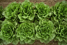 Agriculture - Romaine Lettuce In The Field / Salinas Valley, California, USA.