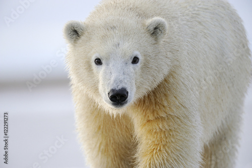 Portrait of polar bear