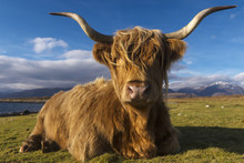 Highland Cow Resting In Meadow