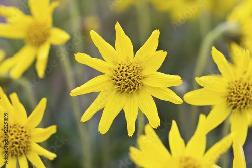 Yellow wildflowers growing on the tundra of bristol bay southwest yellow wildflowers growing on the tundra of bristol bay southwest alaska summer mightylinksfo