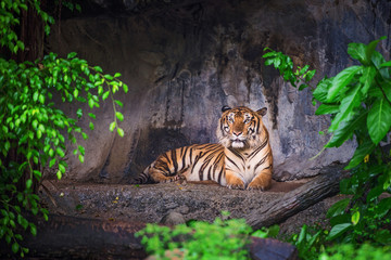Fototapeta na wymiar Tiger