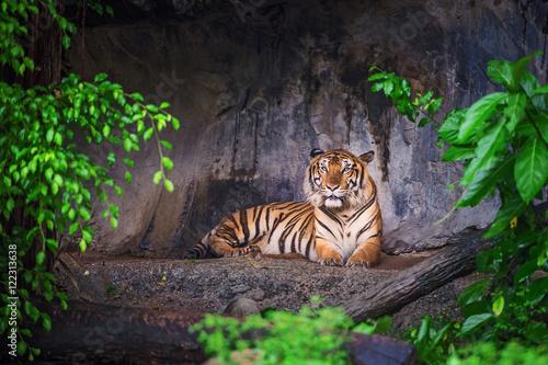 Obrazy na płótnie Canvas Tiger